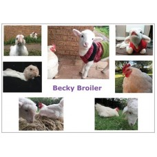 Becky Broiler Postcards #2